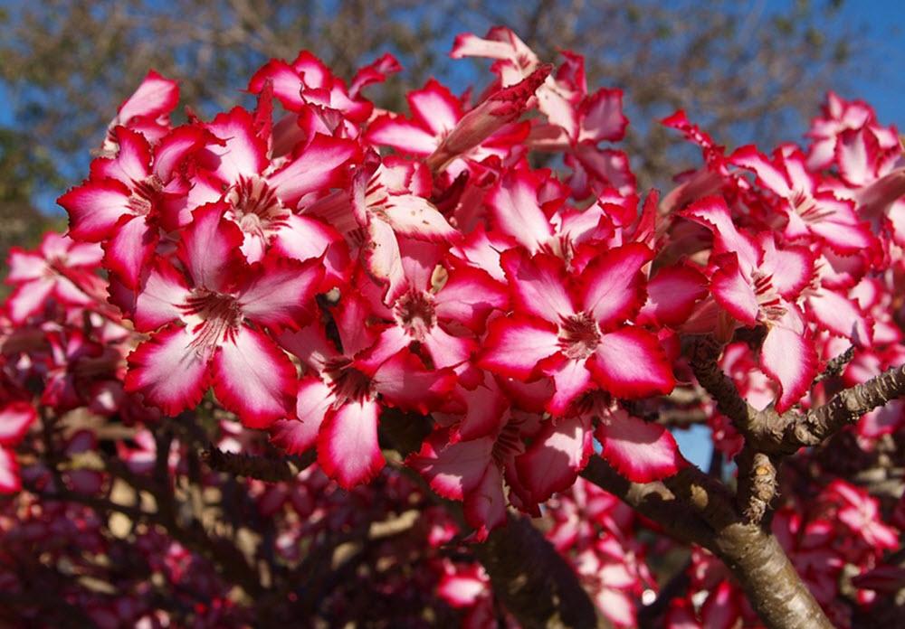 blommor okenrosor